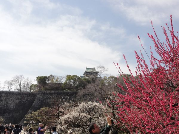 Château d'Osaka et pruniers en fleur