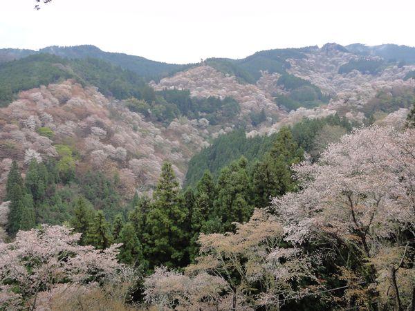 Yoshino, la montagne aux sakuras dans la région de Nara, au Japon
