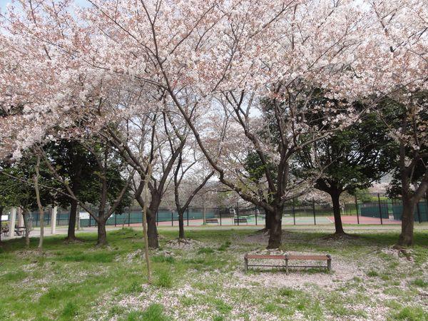 Chute des pétales de cerisier